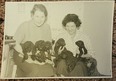Vintage Old 1950's Photo 6 Black Poodle Puppies with Mama