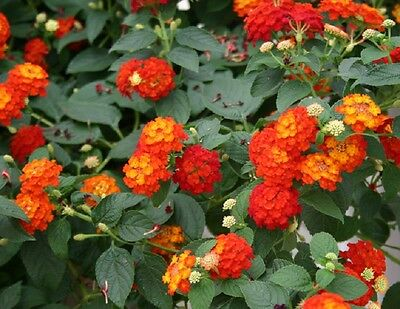 Lantana Bandana Red Improved Ground Cover Multi Color 3 Plants 4 Pots
