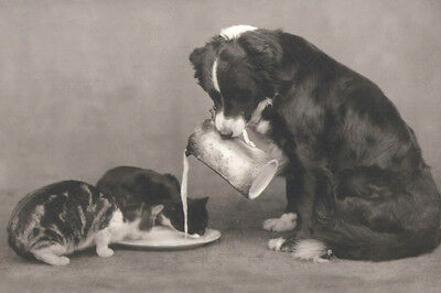 Border Collie FEEDS Kittens Antique Photo ~ New  Large Note Cards