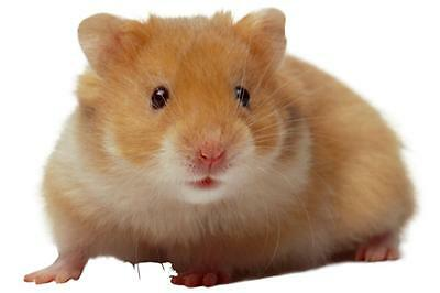 New Young Brown Hamster