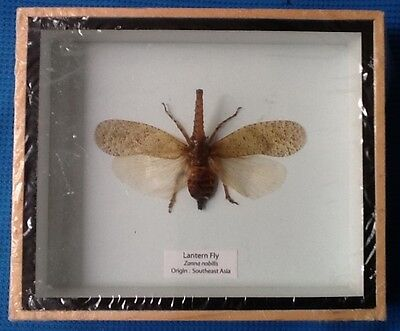 Real Lantern Fly Beetle Planthopper Lanternfly Taxidermy Bug Insect Entomology