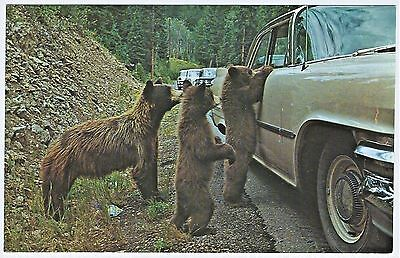 Bears Bothering Cars: 1960 DODGE Yellowstone Mother & Cubs Chrome Postcard VG+