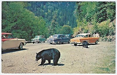Bears Bothering Cars: 1950s AUTOs Handouts To BLACK BEARS Great Smoky Mountains