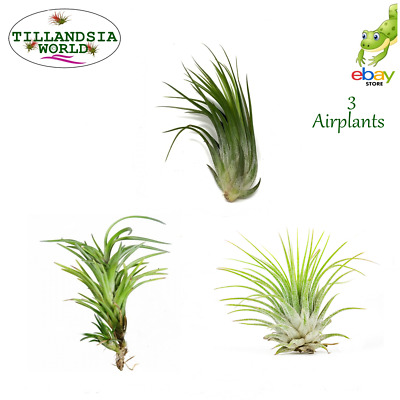 3 Named Air plants (Tillandsia) + free moss House/Air Plants Value!
