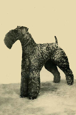 Vintage Kerry Blue Terrier Dog Old Photo ~ LARGE New Blank Note Cards