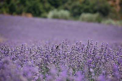 1LB Dried Lavender Flowers-100% Pure & Organic! Grown in Greece!