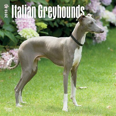 Greyhounds, Italian 2018 Wall Calendar by Browntrout NEW Free Postage