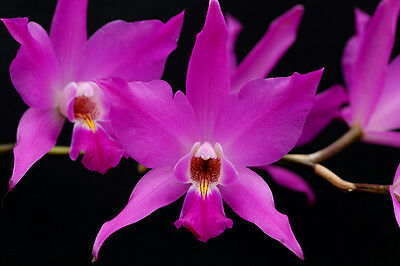 Laelia gouldiana 3 bulbs, 2 new shoots, 10 x 10 cm, young plant