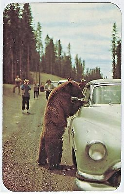 Bears Bothering Cars: 1950s BUICK 2-Door Hosts Large Black Bear Chrome Postcard
