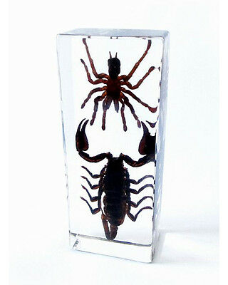 Black Scorpion and Tarantula Genuine INSECT Desktop Paperweight  Paper Weight