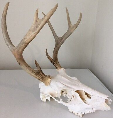 Nice 8 Point Whitetail Deer European Skull Mount Horns Crafts Taxidermy Hunt