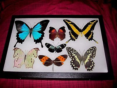 "7 real butterflies  mounted  framed 8x12"" riker display #A1-16"