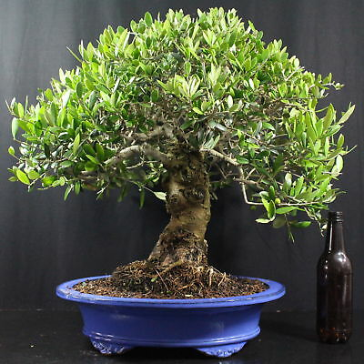 wild olivenbaum olea europaea sylvetris outdoor bonsai 25 jahre 42 cm h he eur 359 00. Black Bedroom Furniture Sets. Home Design Ideas