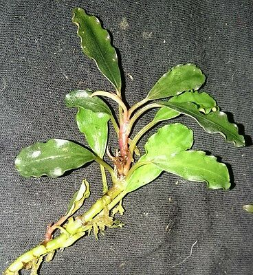 "Bucephalandra ""Motleyana Red under Leaf "" RARE Aquatic Plant"