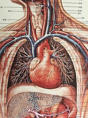 3B Scientific Anatomical Wall Chart, Mounted, Wooden Rods, 33x78 made inGermany