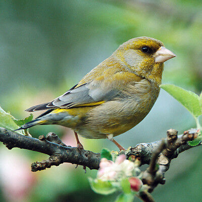 Greenfinch  sound Greeting Card  from Really Wild Cards RSPB collection