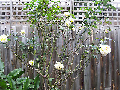 Yellow / Pink Mature Rose Plant Rose Bush 2.2 metres tall Beautiful