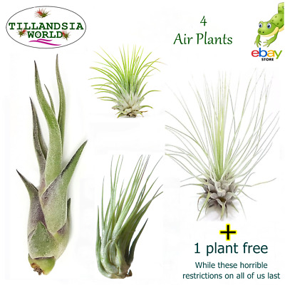 4 X named Air plants (Tillandsia) + free Reindeer moss.House plant Value!
