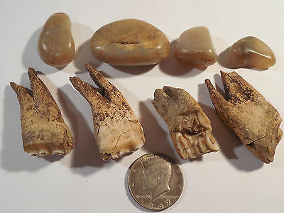 4 Shaman Stones & Pleistocene Horse Teeth Pre-Columbian Ancient Artifacts Mayan