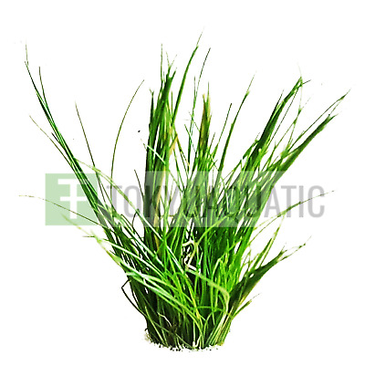 Dwarf Hairgrass Bundle Eleocharis Parvula Freshwater Live Aquarium Plant Clumps