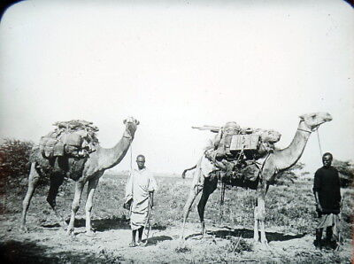 c1900 Camel Caravan Ready to Cross Sahara Desert Photo Lantern Slide