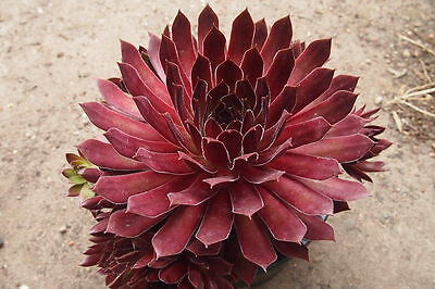 Sempervivum 'Pacific Red Rose'  Succulent plant - Display in 80mm pot (NS)