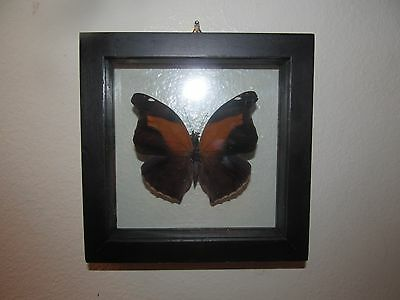 REAL PERUVIAN Stinky Leafwing HISTORIS ODIUS Framed Mounted BUTTERFLY INSECT