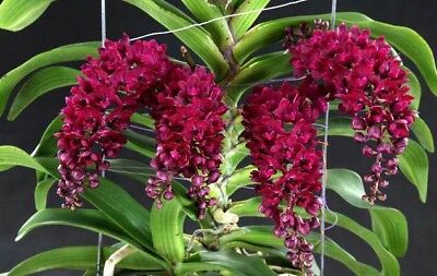 Tings Orchid Flasks Sept 2017. Rhynchostylis. Gigantea - Red #6