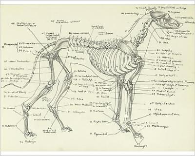 """10""""x8"""" (25x20cm) Print of Skeleton of a greyhound from Prints Online"""