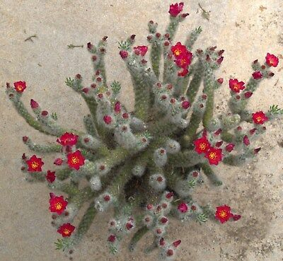 Opuntia Vestita, rooted offset, collectable, cactus, succulent, plant