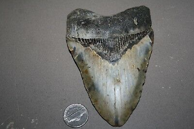 "MEGALODON Fossil Giant Shark Teeth All Natural Large 4.94"" HUGE BEAUTIFUL TOOTH"