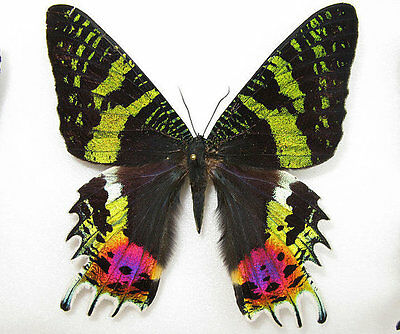 Insect Madagascan Sunset Moths wholesale 80 x $1.25 = $100.00