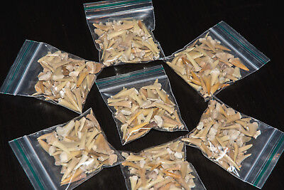25g Shark Tooth Fossil Megalodon Aprox 40-60 White Teeth in a bag children party