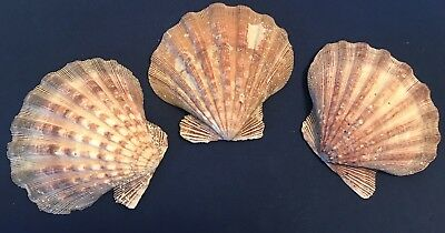 """Lions Paw Scallop Pectinidae Giant Sea Shell 6"""" Natural Beach Combed Lot Of 3"""