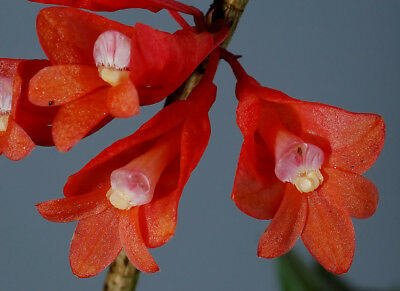 Dendrobium lawesii red 4 shoots 15 cm F.S.