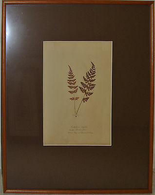 botanical drawing dried and mounted plant collection specimen