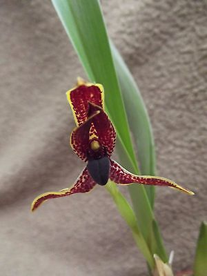 Rare Maxillaria houtteana orchid plant FS not in bloom scented