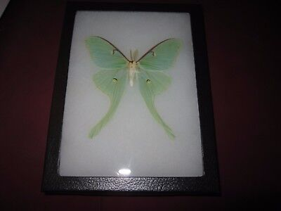 """real luna moth  butterfly mounted framed 6x8"""" riker display #axe1"""