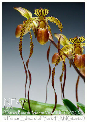 Paphiopedilum Prince of Booths 3 shoots 20 x 40 cm, F.S. VERY RARE CROSS!
