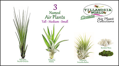 Tillandsia Air Plants 3 pack named + free moss House/Air Plants Value!