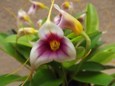 Rare Masdevallia exquisita `Mary` orchid plant in bloom, in 9 cm pot, FS