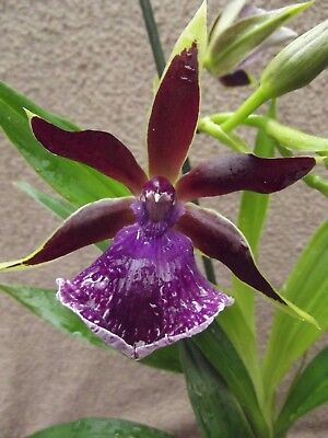 Zygopetalum `Luisendorf` orchid plant FS in bloom scented 1 spike