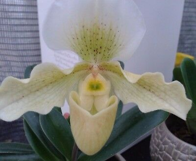 Paphiopedilum `Rosy Dawn` orchid plant in bloom FS with 1 spike,big mature plant