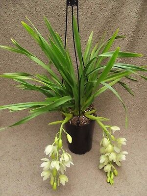 Cymbidium `Ice Cascade`  orchid plant FS in bloom 3-4 spikes