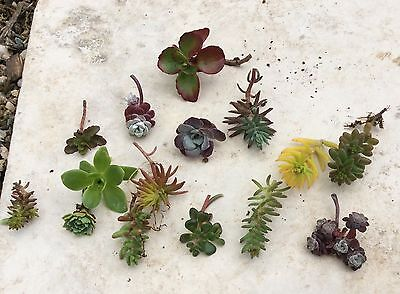 8 Assorted Succulent Sedum Cuttings (Hardy Alpine, all different)