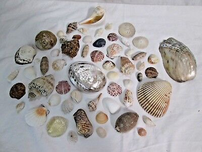 """Lot of 59 Large and Small Sea Shells up to 6"""" across 2.4 lbs Total"""