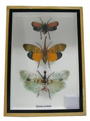 Real Exotic Lantern Flies (Zanna Nobilis) - Set of 3 taxidermy insect bug col...