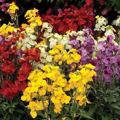 20 x WALLFLOWER 'Wizard' - Mixed Colours Flower Bedding - Plug Plants