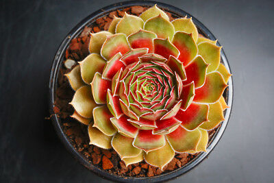 Sempervivum 'Weighton's Red'  Succulent rare plant