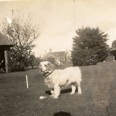 1920s CLUMBER SPANIEL DOG PORTRAIT SNAPSHOT PHOTO VINTAGE GUNDOG